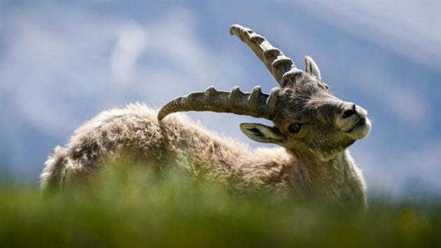 Dersim'de dağ keçilerinin avlanması için ihale!