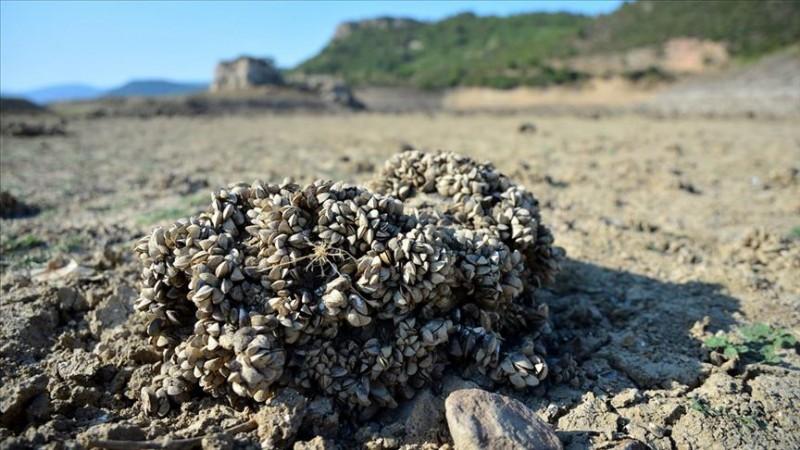 Barajın suyu azalınca 'midye tarlası' çıktı