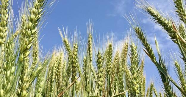 Türkiye'nin Buğday Rekoltesi Artıyor